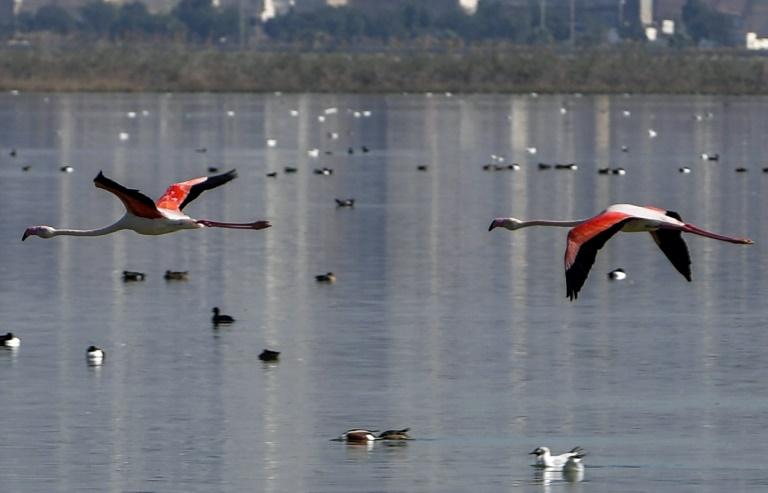 Des flamands roses dans une vaste lagune en plein Grand Tunis, le 20 février 2021