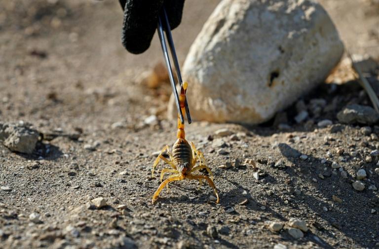 Un scorpion dans l'oasis de Dakhla, à environ 800 km au sud-ouest du Caire, en Egypte, le 4 février 2021